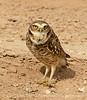 Burrowing Owl near mudpots, Salton Sea CA (9)