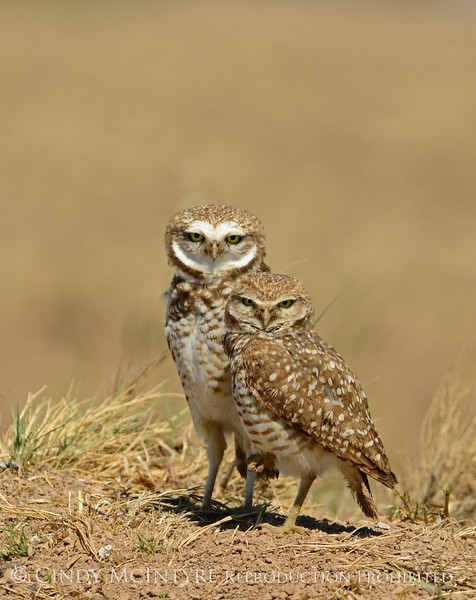 Burrowing Owl pair, Salton Sea CA (2)
