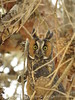 Long-eared owl, Ridgecrest CA (3)