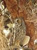 Long-eared owl, Ridgecrest CA (12)