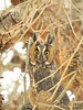 Long-eared owl, Ridgecrest CA (2)