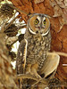 Long-eared owl, Ridgecrest CA 1