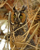 Long-eared owl, Ridgecrest CA 3