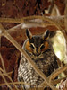 Long-eared owl, Ridgecrest CA (7)