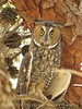 Long-eared owl, Ridgecrest CA (16)