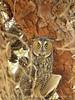 Long-eared owl, Ridgecrest CA (10)