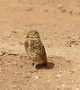 Burrowing Owl near mudpots, Salton Sea CA (10)
