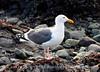 Western gull, CA coast (6)