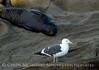 Western gull, CA coast (8)