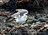 Western gull, CA coast (2)