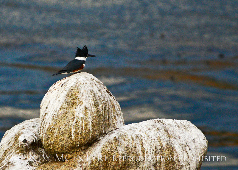 Belted kingfisher female, Pt Lobos CA (2)