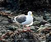 Western gull, CA coast (4)