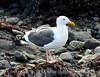 Western gull, CA coast (5)