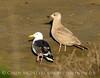 Western gull, CA coast (7)