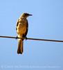 Mockingbird juvenile