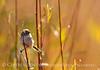 Bushtit male, Victorville CA (3)