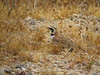 Horned Lark, Rainbow Basin, CA (5)