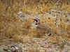 Horned Lark, Rainbow Basin, CA (5)