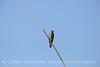 N rough-winged swallow, Salton Sea CA (2)