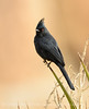 Phainopepla male, S Calif (3)