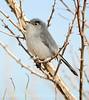Black-tailed gnatcatcher, S Calif (15)