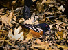 Spotted Towhee, S Calif