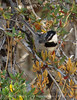 Mountain chickadee, Big Bear Lake CA