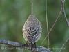 Baby cowbird, Big Bear Lake CA (1)