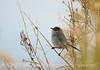 Black-tailed gnatcatcher, S Calif (7)