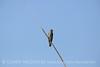 N rough-winged swallow, Salton Sea CA (3)