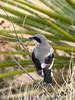 Loggerhead Shrike, Joshua Tree NP (2)