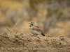 Horned Lark, Rainbow Basin, CA (7)