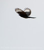 Phainopepla male in flight, S Calif (4)