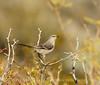 Mockingbird on mesquite, S California (2)