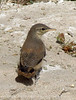 Rock Wren juvenile, Barstow CA (2)