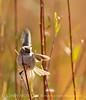 Bushtit male, Victorville CA (1)