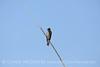 N rough-winged swallow, Salton Sea CA (1)