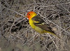 Western tanager male, Joshua Tree NP (1)