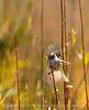 Bushtit male, Victorville CA (2)