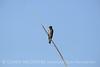 N rough-winged swallow, Salton Sea CA (4)