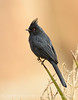 Phainopepla male, S Calif (1)