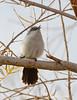 Black-tailed gnatcatcher, S Calif (5)