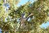 Juniper Titmouse, Mojave Natl Preserve CA (11)