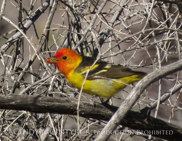 Western tanager male, Joshua Tree NP (2)