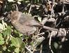 Bushtit female, Joshua Tree NP