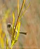 Bushtit male, Victorville CA (8)