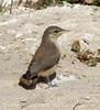 Rock Wren juvenile, Barstow CA (3)