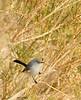 Black-tailed gnatcatcher, S Calif (4)
