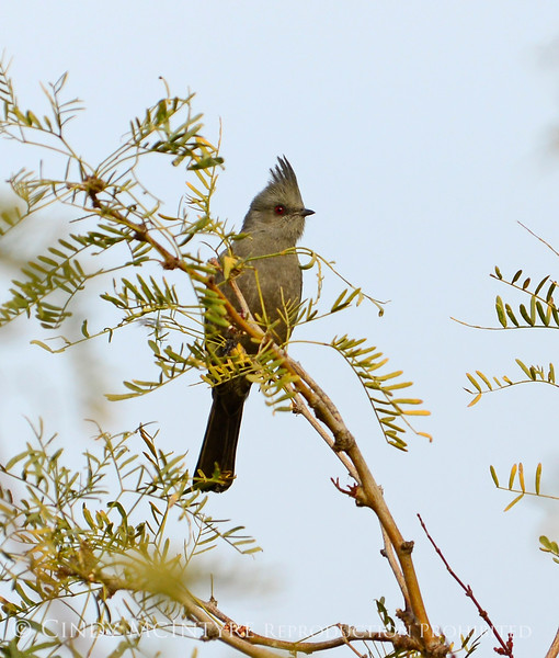 Phainopepla female on mesquite, JOTR