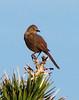 Bendire's thrasher, Mojave Natl Preserve CA (1)